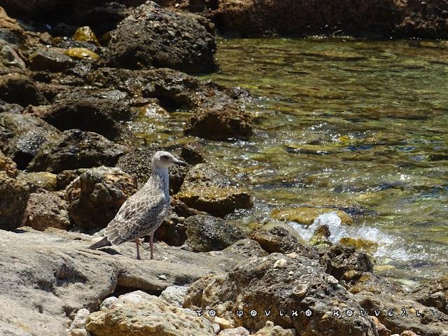 Θαλασσοπούλι στα περίχωρα της Αττικής, φωτογραφία από το φονικό κουνέλι