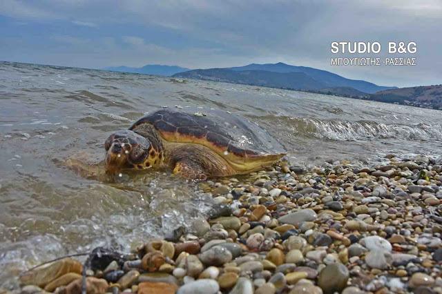 Ρεκόρ με οκτώ νεκρές θαλάσσιες χελώνες σε μια μέρα στην Αργολίδα