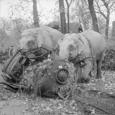 36 Amazing Historical Pictures. #9 Is Unbelievable - Circus elephants Kiri and Many move a wrecked car from a bombed out garage in Hamburg, 1945.