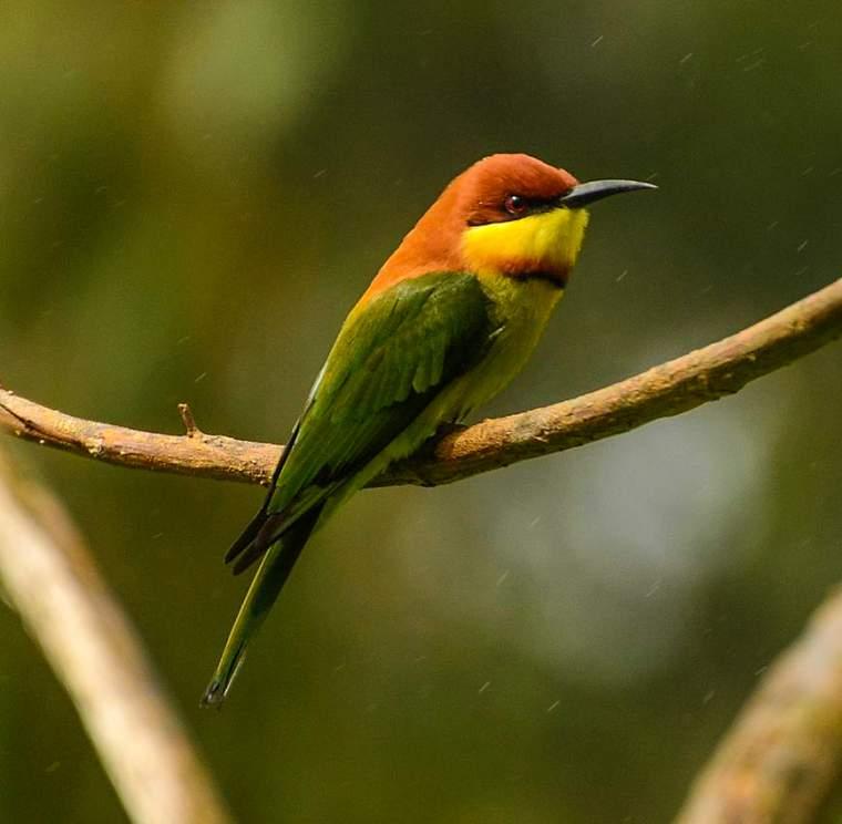 Chestnut-headed bee-eater photos | Birds of India | Bird World - photo#22