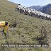 Ռոբոտ շունը արածեցնում է ոչխարներին և զբաղվում  է գյուղատնտեսական աշխատանքներով (վիդեո)