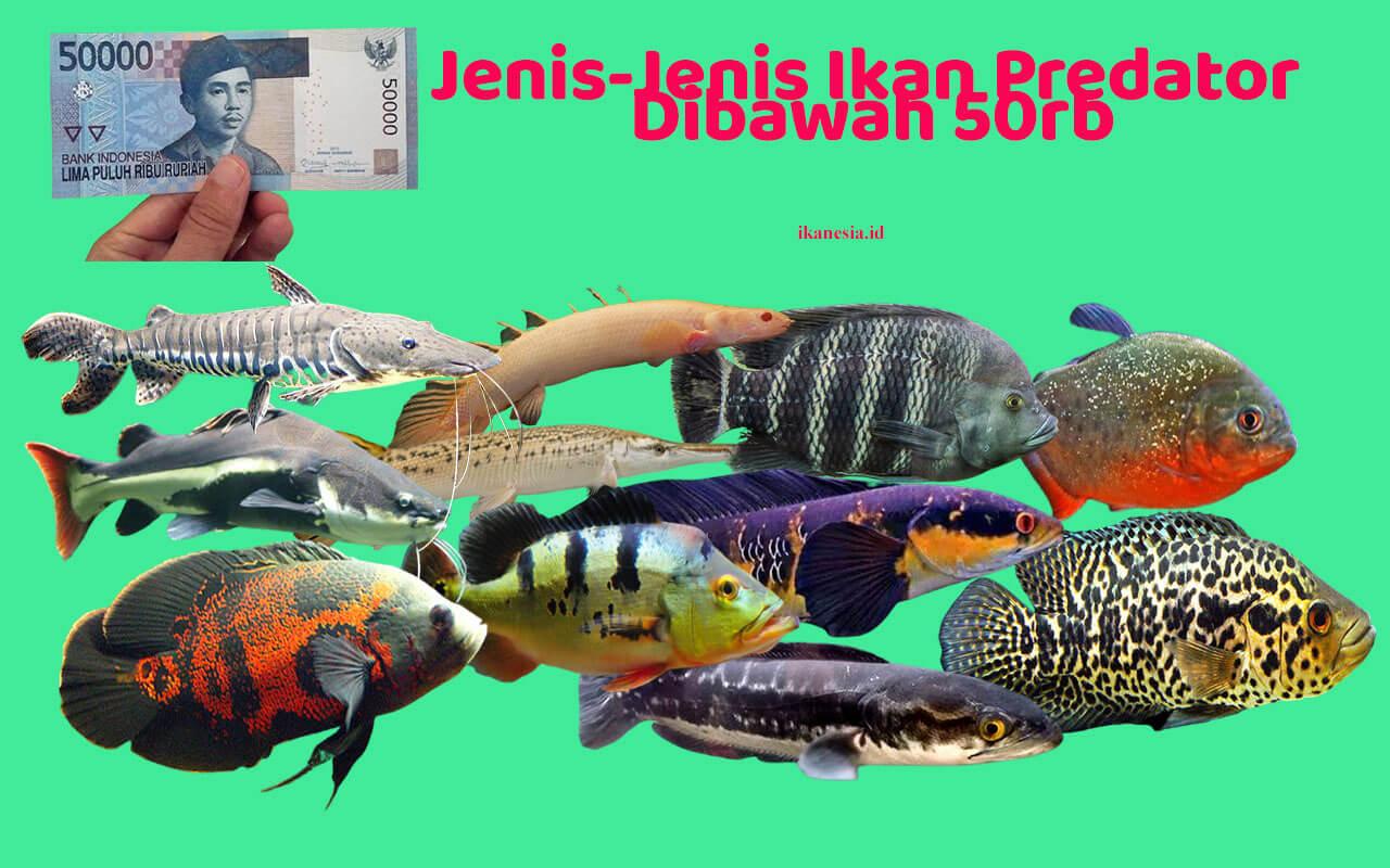 Ikan Predator Murah DIbawah 50rb