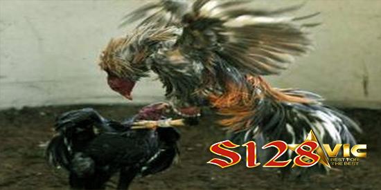 judi aduan ayam