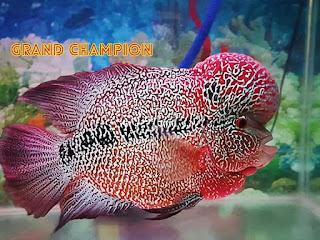 Ikan Louhan Cencu (Zenzhu)