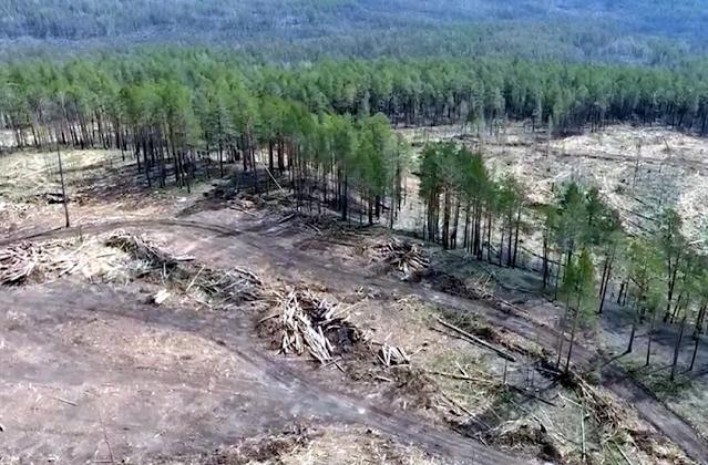 Незаконно вырубают леса в России повсеместно, но самым лакомым кусочком стала Иркутская обл.