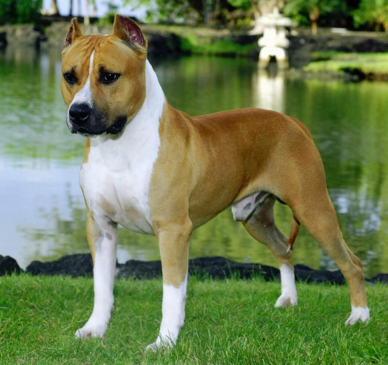 American Staffordshire Terrier: Top 10 Most Popular Loyal Dog Breeds In America
