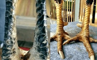 katurangan kaki ubed ayam