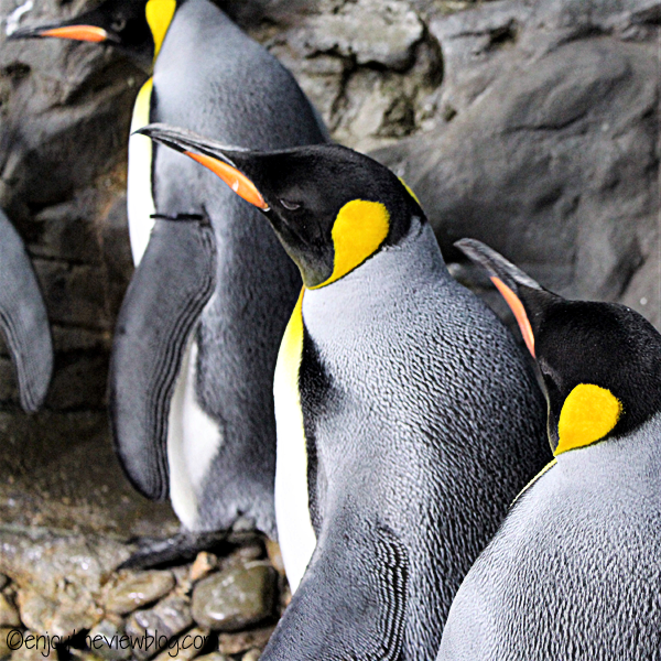 Several king penguins standing together on rocks