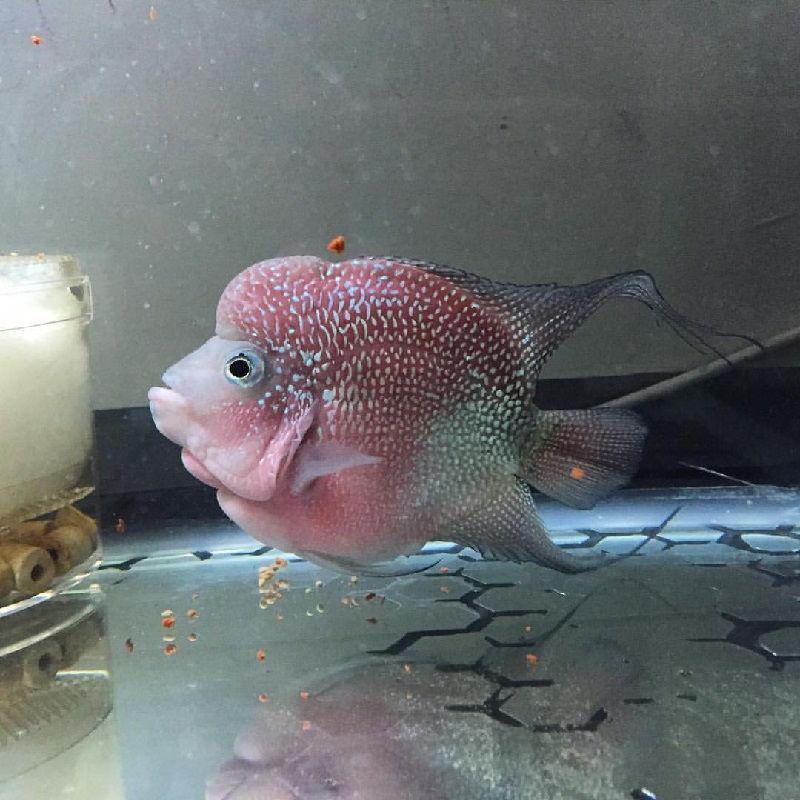 Gambar Ikan Louhan Bonsai Red Ori Thailand