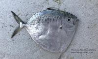 Razor Moonfish