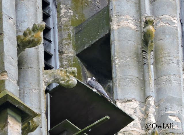 Peregrine falcon on Lincoln Cathedral nest platform