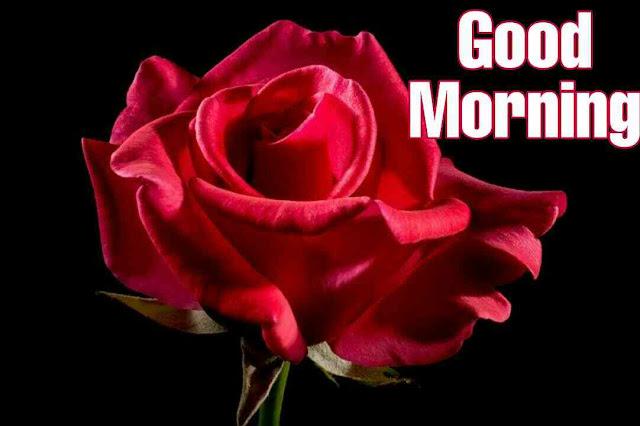 Beautiful good morning image wild red rose