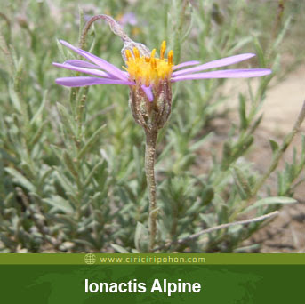 ciri ciri pohon bunga aster lonactics alpine