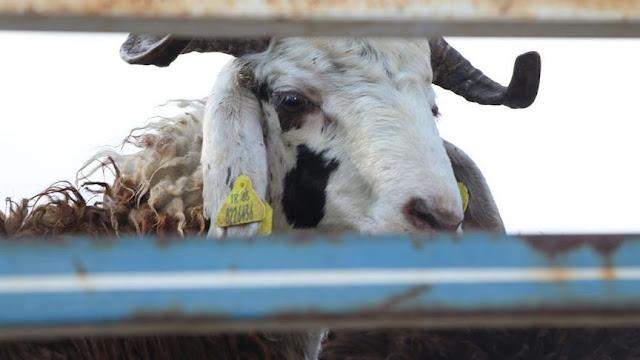 Kurbanlık Hayvanın Ölmesi veya Kaybolması Durumunda Ne Yapılmalı?
