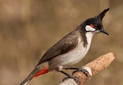 Burung Kutilang Jambul