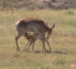 Photograph of Pronghorn Antelope in New Mexico.