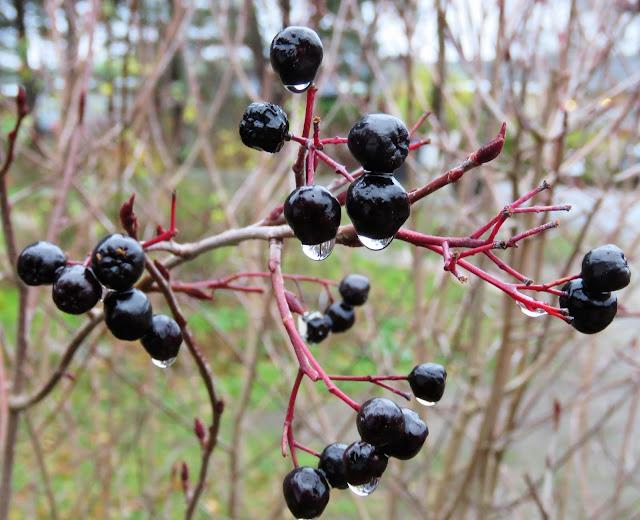 Høstfarger i vinterhagen, det går mot vårt. SvartsurbærAronia med regndråper. Furulunden IMG_0001