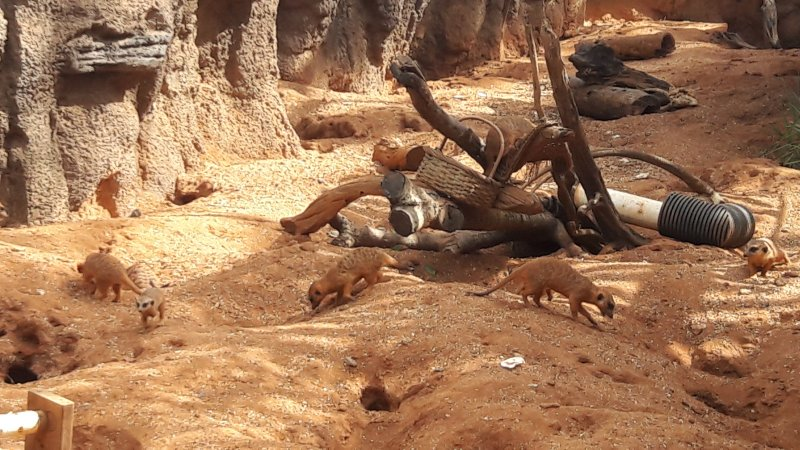 Meerkats at the Brevard Zoo
