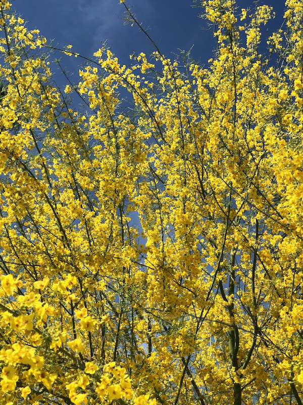 Spring yellow blossom