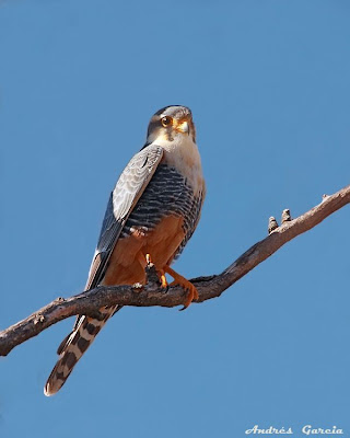 argentinian Falcons