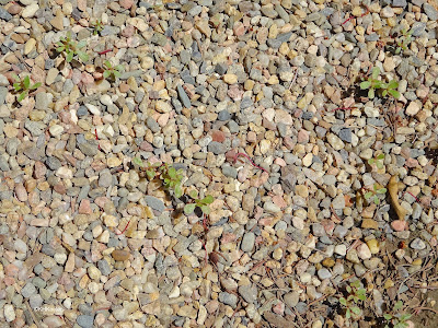 purslane on gravel