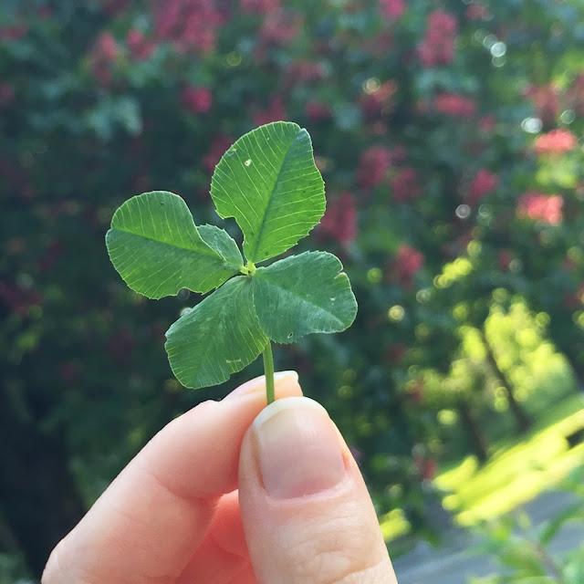 Glücksklee, vierblättriges Kleeblatt, Klee, Lucky Clover, Luck, Four-Leave-Clover
