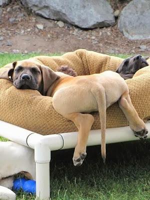 Foto divertida de perro descansando muuuuy relajado