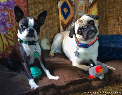 Pug head tip and alert Boston terrier
