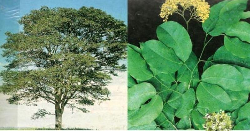 Pau Roxo (Peltogyne angustiflora)