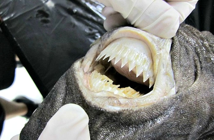 Gigi hiu Pemotong Kue