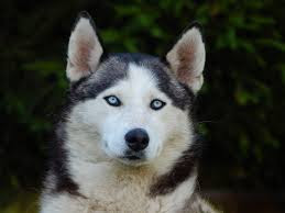 Siberian Husky, Ras Anggun Bermata Biru Yang Cerdas