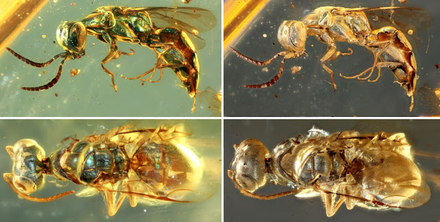 Amber fossils unlock true colour of 99-million-year-old insects