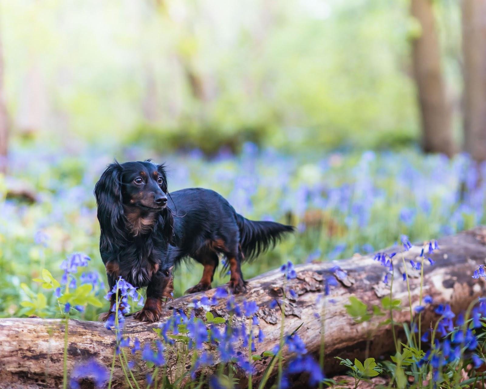 bluebell woods photoshoot dachshund liquid grain liquidgrain