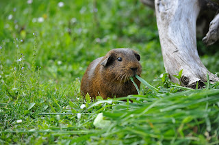 A brown guinea pig sitting in a field eating grass next to a fallen tree