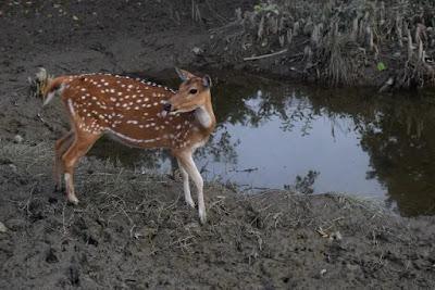 A deer sticks out its tongue