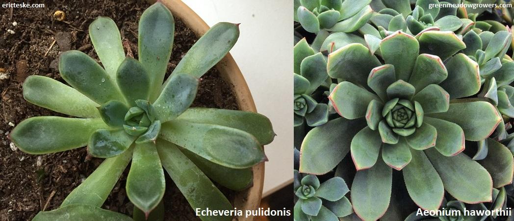 Aeonium Haworthii Or Echeveria Pulidonis Backyard