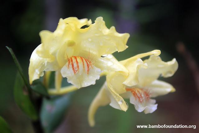 Dendrobium hallieri