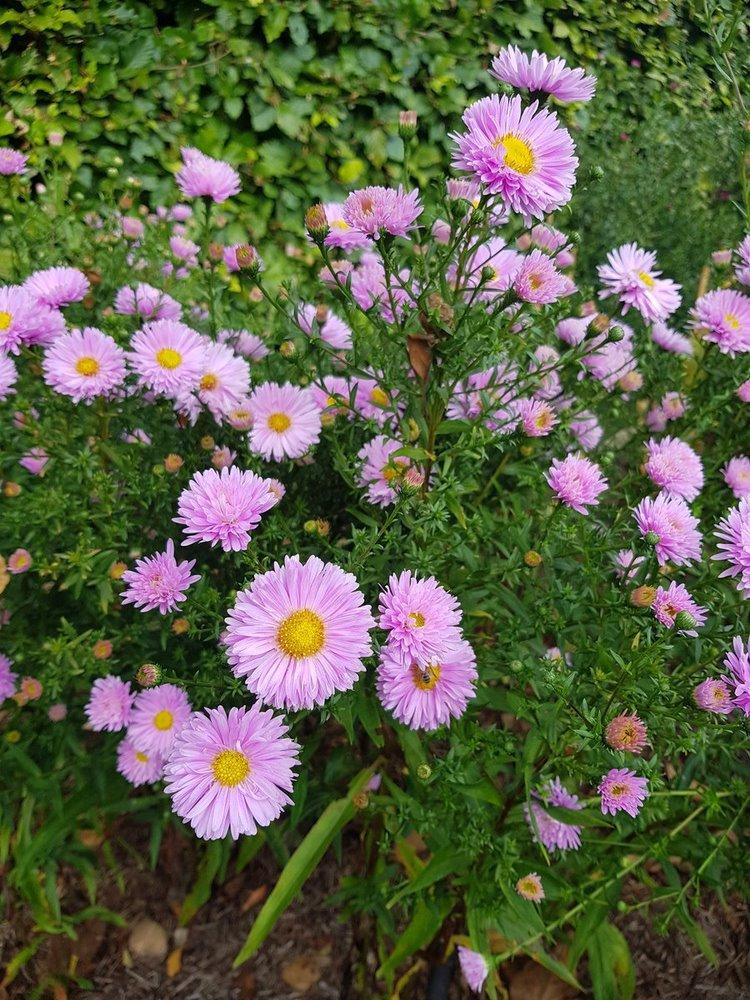Aster que florece en otoño. Symphyotrichum novi-belgii 'Lassie' aster de otoño