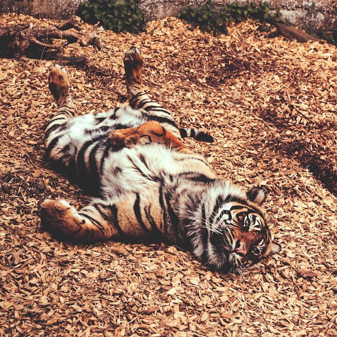 tiger-lying-on-ground