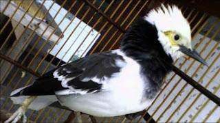 Harga Burung Jalak Hongkong