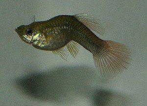 Tuberkulosis pada ikan guppy