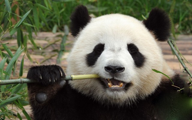 Ultimate Guide on Chengdu Panda Tour Guide 2019