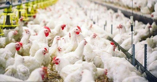 """""""الخدمات البيطرية"""" تؤكد تحصين 2.9 مليون رأس طائر ضد أنفلونزا الطيور"""