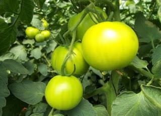 Tomat hidroponik hijau