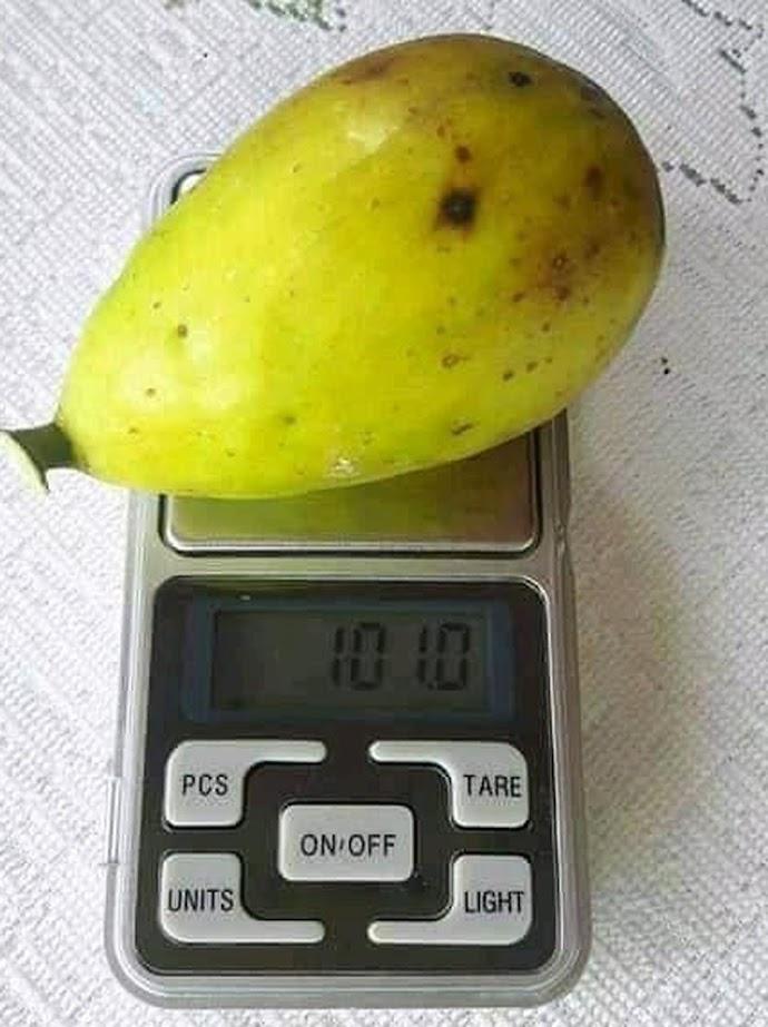 Bibit buah tin Dalmatie rusia Terlaris Kotamobagu