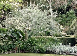 Bepflanzung für einen mediterranen Garten - winterharte Gehölze mit mediterranem Chraakter.