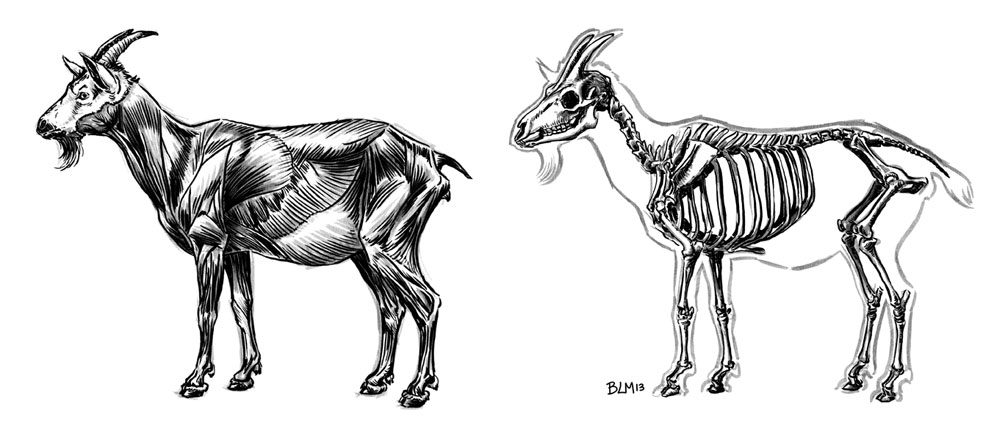 Drawn Out Days Goat Anatomy Sketches