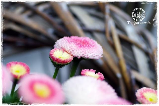 Gartenblog Topfgartenwelt Osterdeko: Bellis