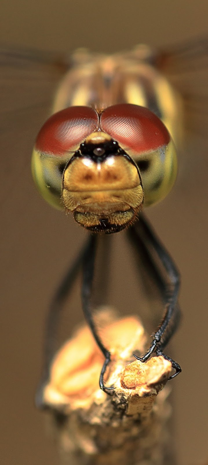 Dragonfly compound eyes.