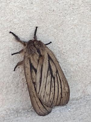 mariposas argentinas Eudyara zeta